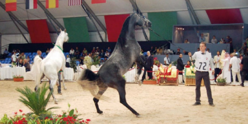 cheval arabe jadida